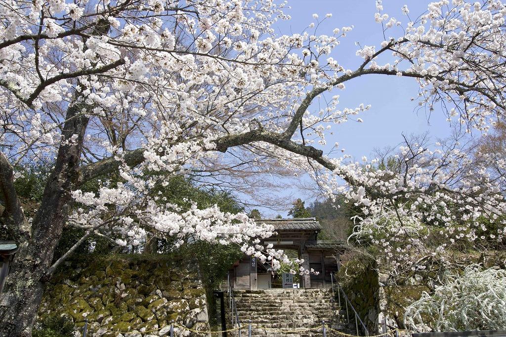 【東近江市のおすすめ観光スポットまとめ】天台宗湖東三山釈迦山「百済寺」の桜