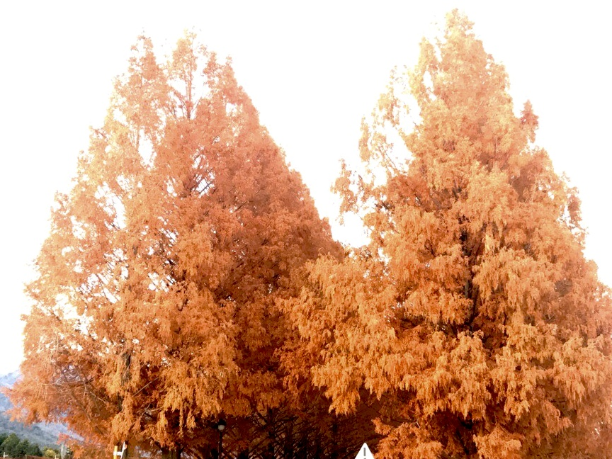 【滋賀県のおすすめ紅葉スポットまとめ】高島市:メタセコイヤ並木